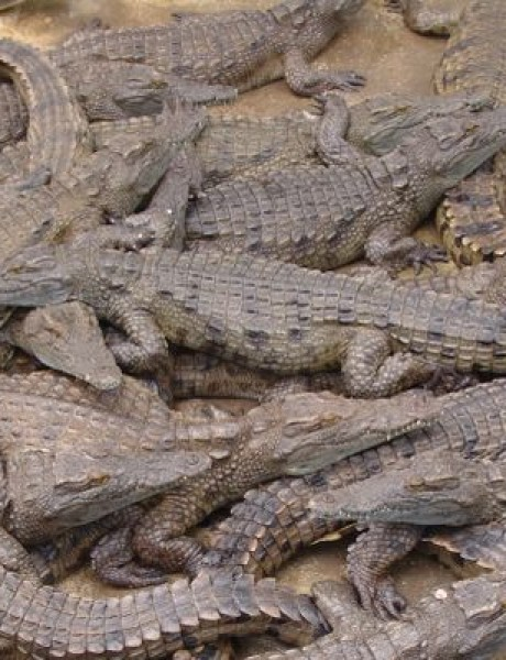 Mala bara mnogo krokodila