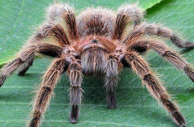 Tarantula1 Zanimljivosti iz životinjskog sveta