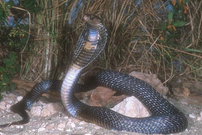 kobra1 Zanimljivosti iz životinjskog sveta
