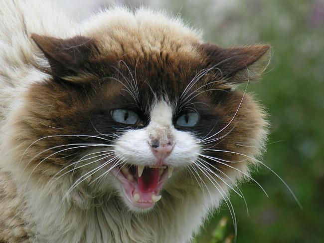 macka2 tekst Zašto mačka nije vaš prijatelj?