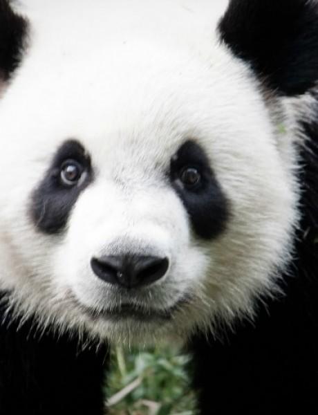 Vic dana: Panda