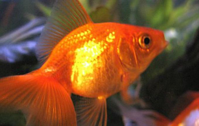 ribica2 Vic dana: Zlatne ribice