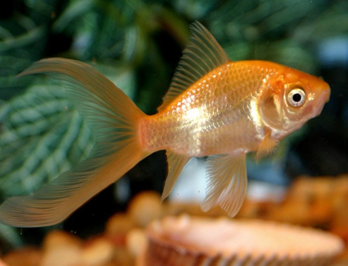 ribica3 Vic dana: Zlatne ribice