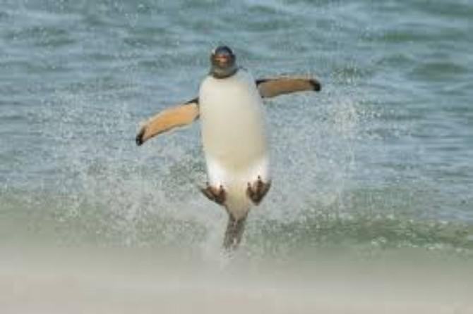zanimljivosti o pingvinima 2 Razlozi zbog kojih sigurno ne bi voleo da budeš pingvin
