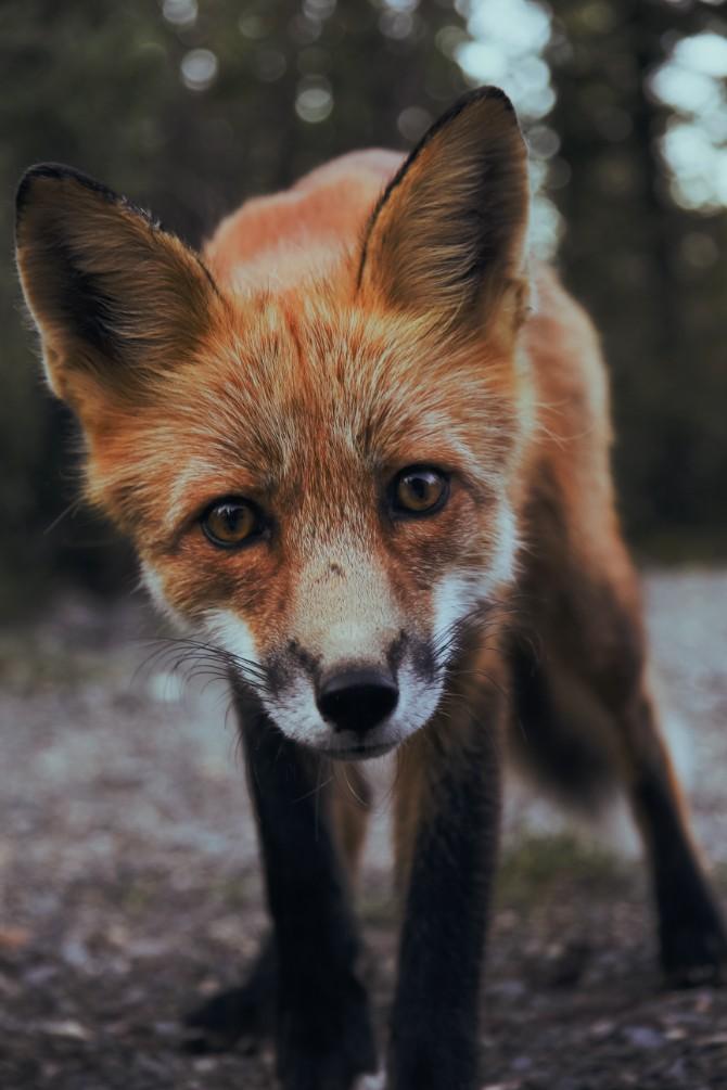 sunyu 532177 Još jedna cigla u glavi: Razbole se lisica