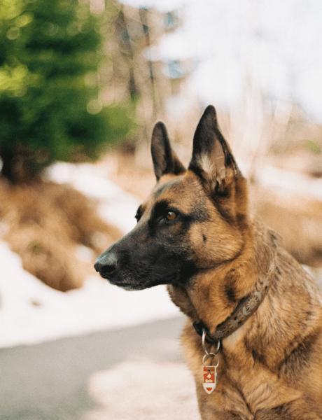 Kako je vuk postao čovekov najbolji prijatelj – pas