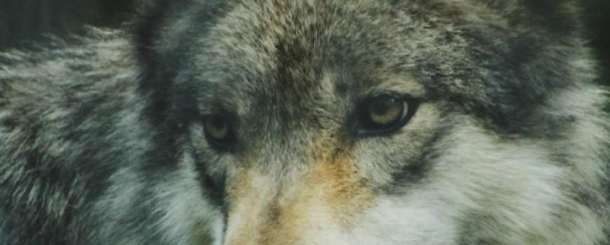 Životinjske vrste koje smo spasli od izumiranja